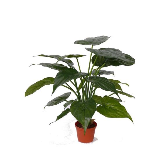 Olifantsoor plant 51 cm