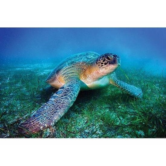 Zeeschildpadje poster 61 x 92 cm Geen Woonaccessoires