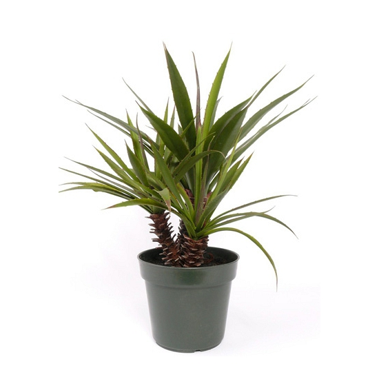 Yucca plant in pot 71 cm